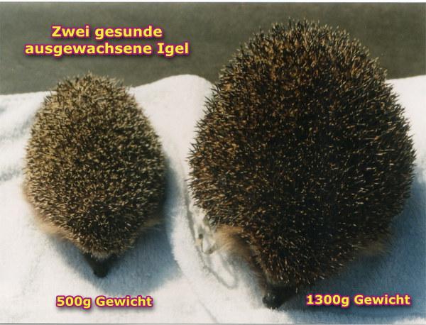 Igel Winterschlaf Gewicht : winterschlaf arbeitsgruppe igelschutz dortmund e v ~ Watch28wear.com Haus und Dekorationen